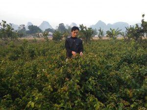 Cây xạ đen tươi được trồng nhiều ở khu vực Hòa Bình