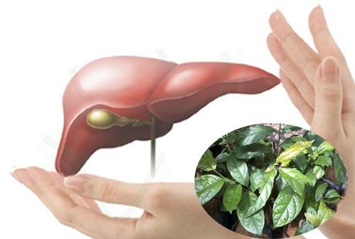 Cây xạ đen và tác dụng chữa bệnh gan hiệu quả