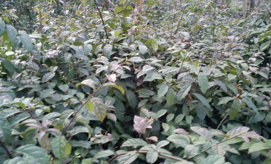 Người trồng cần phải biết chăm sóc xạ đen đúng cách