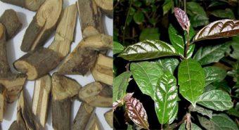 Công dụng và cách sử dụng cây xạ đen tươi, khô chữa bệnh tốt nhất