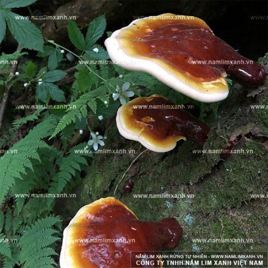 Đặc điểm của nấm lim xanh Quảng Ninh
