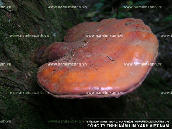 Đặc điểm hình dạng nấm lim xanh rừng