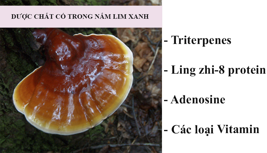 Dược chất trong nấm lim xanh công ty Tiên Phước
