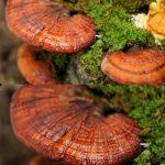 Giá của nấm lim xanh rừng - Phân biệt nấm lim rừng thật chính gốc