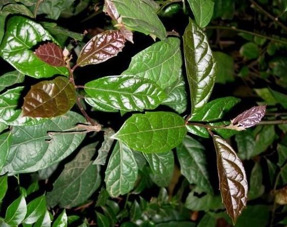 Giống cây xạ đen có thể tìm mua tại các vườn ươm ở Gia Lâm, Hòa Bình, Sơn La.