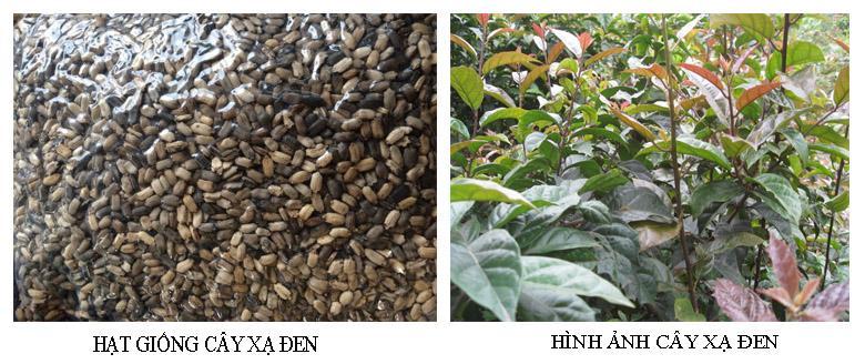 Hạt xạ đen tốt, chính gốc giúp cây trồng phát triển khỏe mạnh về sau
