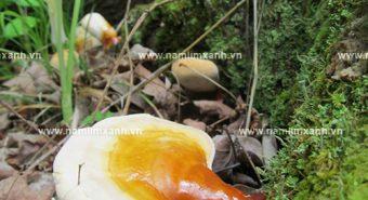 Hình ảnh của nấm lim xanh rừng, cách phân biệt nấm lim thật - giả