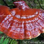 Phân biệt nấm lim xanh thật giả thế nào từ hình ảnh nấm lim rừng