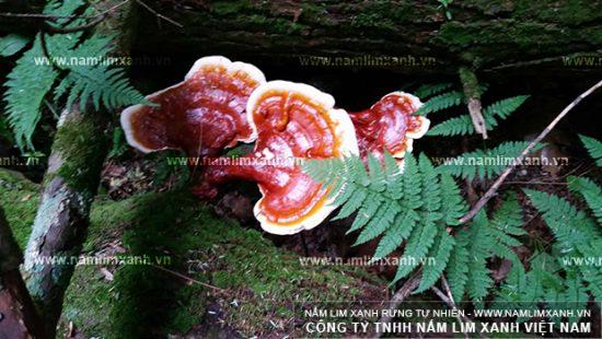 Hình ảnh nấm lim xanh Lào trong tự nhiên