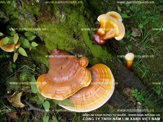 Hình ảnh nấm lim xanh rừng 1