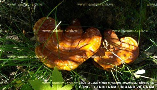 Hình ảnh nấm lim xanh rừng Quảng Nam.