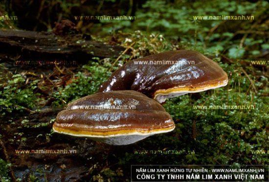 Hình ảnh nấm lim xanh rừng tự nhiên