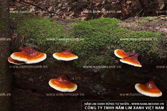 Hình ảnh nấm lim xanh rừng tự nhiên Tiên Phước.