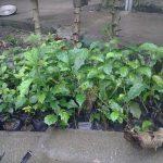Kỹ thuật trồng cây xạ đen, cách chăm sóc cây xạ đen tốt nhất
