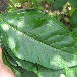 Lá cây xạ đen có tác dụng gì? Cách dùng lá cây xạ đen
