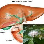 Lá xạ đen chữa ung thư như thế nào? Cách dùng xạ đen trị ung thư