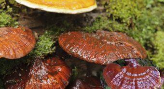 Nấm gỗ lim là loại nấm gì? Nấm lim xanh có tác dụng chữa bệnh gì?