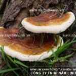 Nấm lim Lào đặc điểm hình ảnh cách dùng nấm lim Lào chữa bệnh