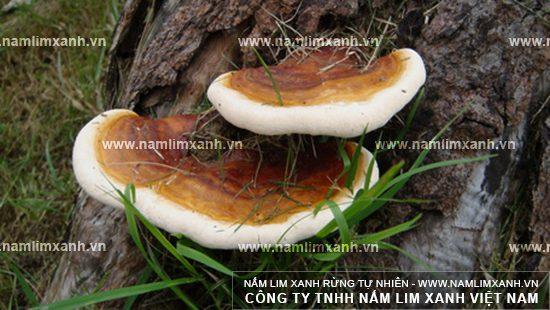 Nấm lim Lào là loại nấm lim xanh mọc nhiều ở những cánh rừng Nam Lào