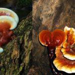 Nấm lim Lào: Đặc điểm hình ảnh, cách dùng nấm lim Lào chữa bệnh