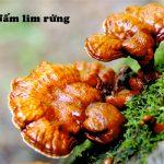 Nấm lim rừng chữa bệnh ung thư gì? Cách dùng nấm lim xanh rừng
