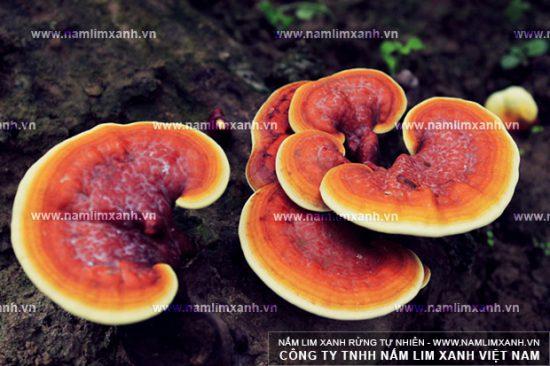 Nấm lim xanh của Lào có đặc điểm giống với nấm lim xanh rừng Tiên Phước.
