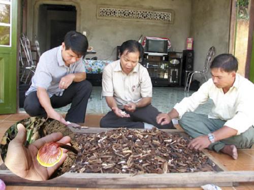 Nấm lim xanh của Nguyễn Đình Hoa là loại nấm gì?