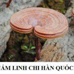 Nấm lim xanh Hàn Quốc: Cách phân biệt nấm lim xanh và nấm linh chi