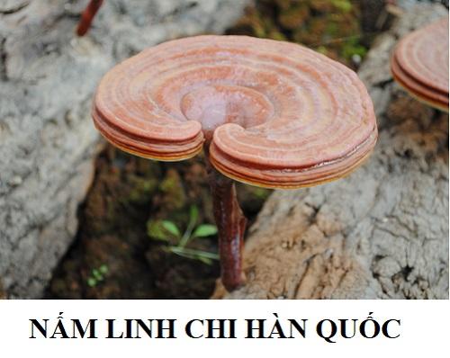 Nấm lim xanh Hàn Quốc có tốt hơn so với nấm lim xanh Việt Nam?