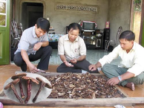 Nấm lim xanh Nguyễn Đình Hoa có nguy hiểm không?