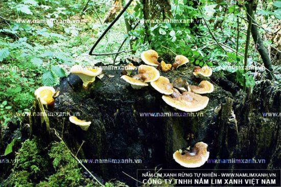 Nấm lim xanh thật được thợ sơn tràng tìm thấy trong rừng nguyên sinh
