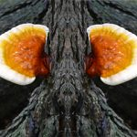 Nấm lim xanh Tiên Phước chữa bệnh gì? Cách uống nấm lim rừng