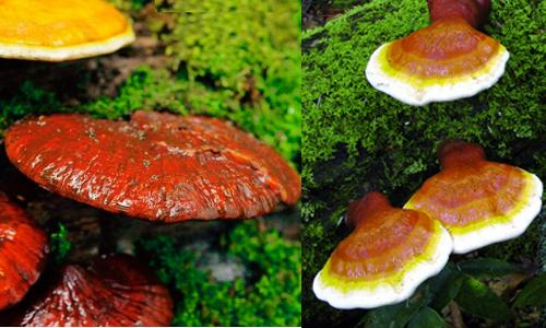 Nấm lim xanh Tiên Phước được chế biến và thu hái từ nấm lim xanh rừng tự nhiên