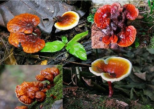 Hình ảnh nấm lim xanh Tiên Phước Quảng Nam trong tự nhiên