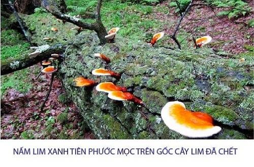 Cây nấm lim xanh Tiên Phước mọc trên gốc lim trong rừng tự nhiên