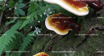 Hình ảnh cây nấm lim xanh tự nhiên cách phân biệt nấm lim thật giả