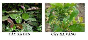 Nhận biết xạ đen xạ vàng qua hình dạng, màu sắc, mùi vị.