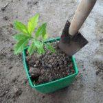 Cách chăm sóc cây xạ đen tốt nhất - Kỹ thuật trồng xạ đen tốt nhất