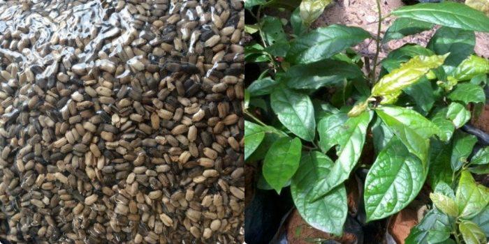 Có thể gieo cành hoặc gieo hạt giống xạ đen Lưu ý về kỹ thuật trồng cây xạ đen