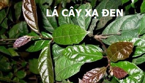 Tác dụng chữa bệnh của lá cây xạ đen