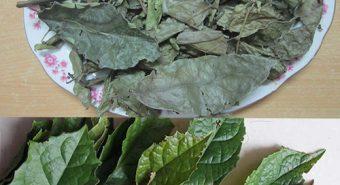 Tác dụng của lá cây xạ đen. Giá cây xạ đen tươi, khô bao nhiêu 1kg?