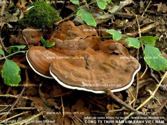 Tác dụng của nấm lim rừng đã được nhiều nhà khoa học nghiên cứu, chứng minh