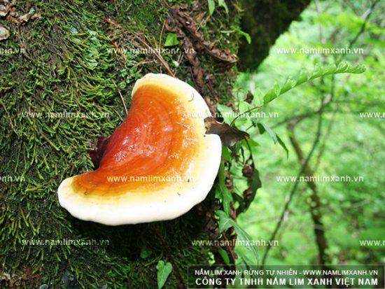 Tác dụng của nấm lim xanh Lào trong điều trị các bệnh về gan