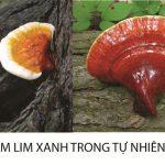 Tác hại của nấm lim xanh là gì lưu ý khi sử dụng nấm lim tự nhiên