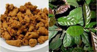 Tam thất xạ đen được sử dụng làm trà có tốt cho sức khỏe không?
