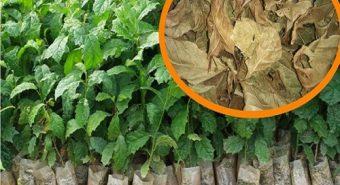 Kỹ thuật trồng cây xạ đen, cách chăm sóc xạ đen như thế nào?