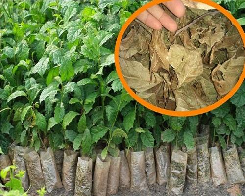 Kỹ thuật trồng cây xạ đen đúng cách