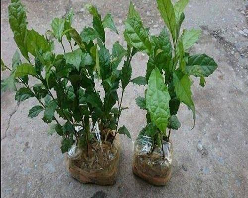 Bón phân lót trước khi trồng cây xạ đen vào vườn