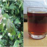 Uống nước lá xạ đen chữa bệnh gì? Công dụng của cây, lá xạ đen