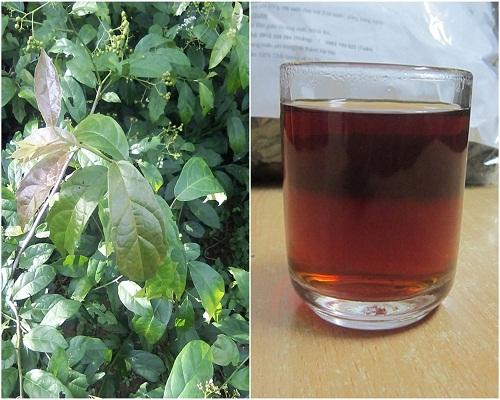 Uống nước lá xạ đen hỗ trợ điều trị bệnh hiệu quả